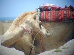 Camel in the Sultanate of Oman - by Joan Brown